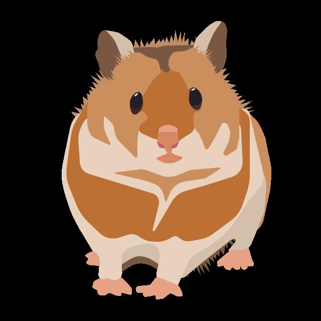 Syrian golder hamster